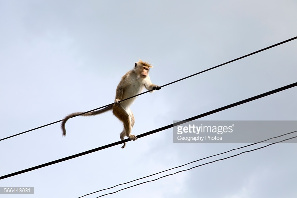 A Toque Macaque. Gettyimages. Geography stock photos. Image rights unknown.