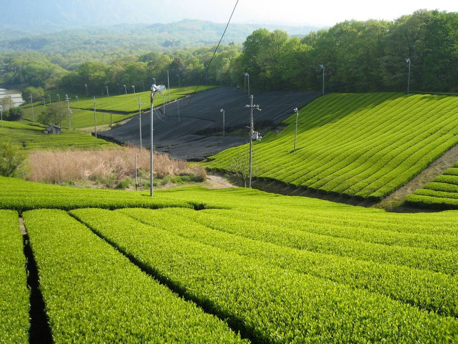 Tea cultivation in Minamiyamashiro, Kyoto. Photo by vera46 licensed under CC BY 2.0.