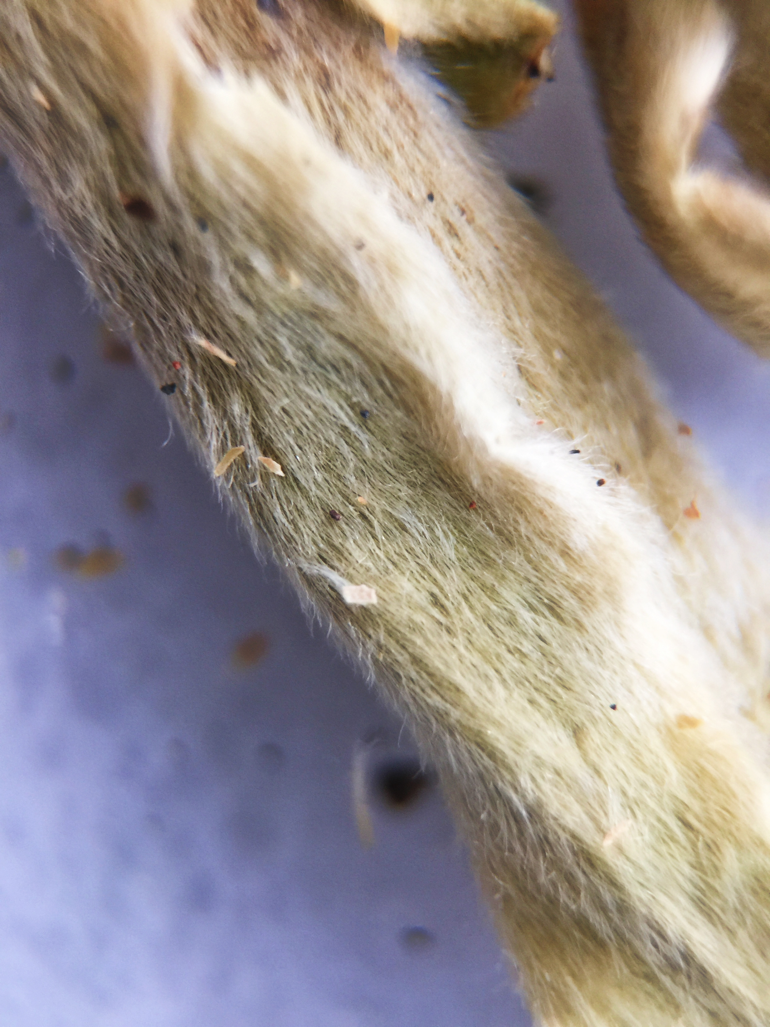 Photograph of Silver Bud Ya Bao (Tea Source) ~ loose leaf Macro 21x by Jocilyn Mors is licensed under a Creative Commons Attribution-NonCommercial-ShareAlike 4.0 International License.